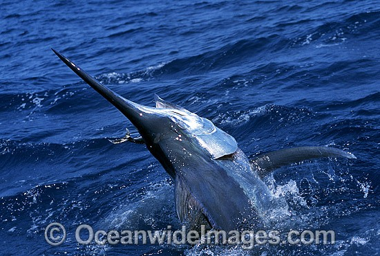 Black Marlin (Makaira indica) on surface after taking a bait. Also known as Billfish. Great Barrier Reef, Queensland, Australia