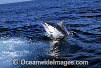 Black Marlin Makaira indica Photo - John Ashley