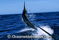 Black Marlin Billfish Makaira indica after taking a bait image