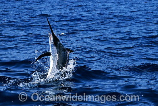 Black Marlin Billfish Makaira indica after taking a bait photo