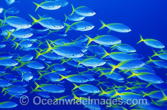 Schooling Yellow-backed Fusilier (Caesio xanthonota). Great Barrier Reef, Queensland, Australia
