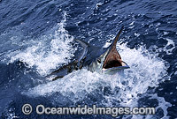 Black Marlin Makaira indica photo