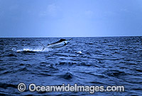 Black Marlin Billfish Makaira indica breaching Photo - John Ashley