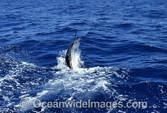 Indo-Pacific Sailfish (Istiophorus platypterus) breaching on surface after taking a bait. Also known as Billfish. Great Barrier Reef, Queensland, Australia
