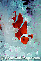 Spine-cheek Anemonefish Premnas biaculeatus