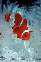 Spine-cheek Anemonefish Tomato Clownfish Photo - Gary Bell