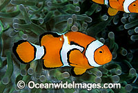 Eastern Clownfish Amphiprion percula Photo - Gary Bell