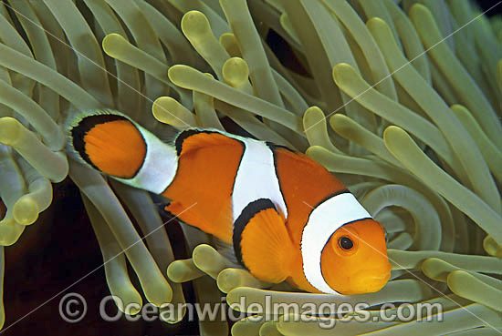 Western Clownfish (Amphiprion ocellaris) amongst anemone tentacles. Also known as Western Anemonefish or Clown Anemonefish. Bali, Indonesia Photo - Gary Bell
