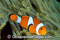 Western Clownfish Amphiprion ocellaris Photo - Gary Bell