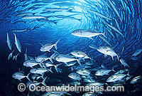 Vortex of Big-eye Trevally Photo - Gary Bell
