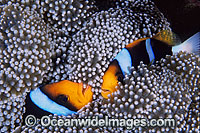 Orange-fin Anemonefish Amphiprion chrysopterus Photo - Gary Bell