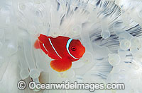Spine-cheek Anemonefish Premnas biaculeatus photo