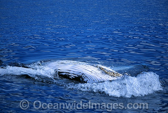 Humpback Whale showing belly slits on surface photo