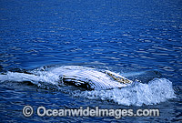 Humpback Whale showing belly slits on surface Photo - Gary Bell