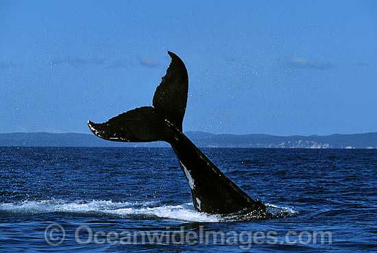 Humpback Whale tail fluke slapping on surface photo