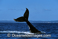 Humpback Whale tail fluke slapping on surface Photo - Gary Bell