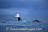 Humpback Whales tail fluke dorsal fin on surface Photo - Gary Bell