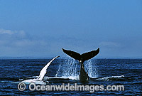 Humpback Whales pectoral fin tail fluke slapping Photo - Gary Bell