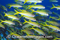 Yellow-striped Goatfish Mulloidichthys vanicolensis Photo - Gary Bell