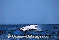 Humpback Whale breaching mother and calf photo