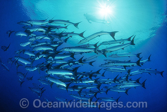 Schooling Chevron Barracuda (Sphyraena qenie) and Scuba Diver. Great Barrier Reef, Queensland, Australia Photo - Gary Bell