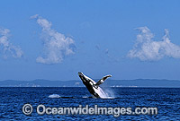 Humpback Whale Megaptera novaeangliae photo