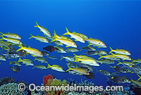 Yellow-striped Goatfish