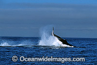 Humpback Whale tail slapping on surface Photo - Gary Bell