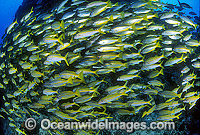Goatfish and Sea Perch photo