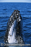 Humpback Whale spy hopping showing tubercles Photo - Gary Bell