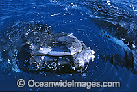 Humpback Whale head lunging on surface Photo - Gary Bell