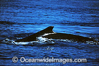 Humpback Whale mouthing surface Photo - Gary Bell
