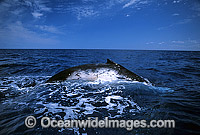 Humpback Whale showing blowhole Photo - Gary Bell