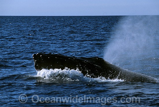 Humpback Whale (Megaptera novaeangliae) - on surface expelling air from blowhole. Hervey Bay, Queensland, Australia. Classified as Vulnerable on the 2000 IUCN Red List.