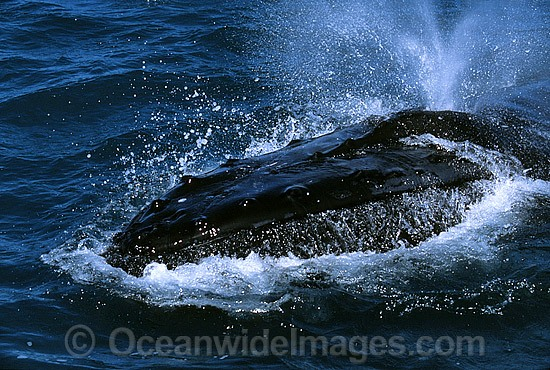 Humpback Whale expelling air from blowhole photo