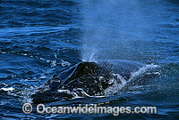 Humpback Whale pectoral fin slapping on surface Photo - Gary Bell