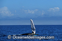 Humpback Whale expelling air from blowhole Photo - Gary Bell