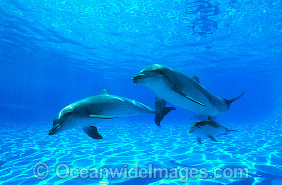 Indo-Pacific Bottlenose Dolphin (Tursiops aduncas) - mother and companion with 6 week old calf. Coastal New South Wales, Australia