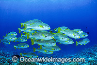 Schooling Sweetlips photo