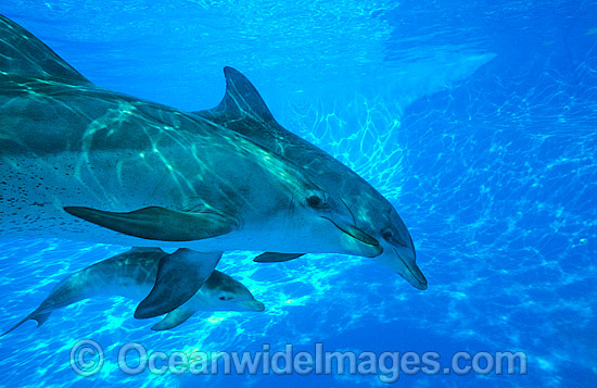 Dolphin mother and baby photo