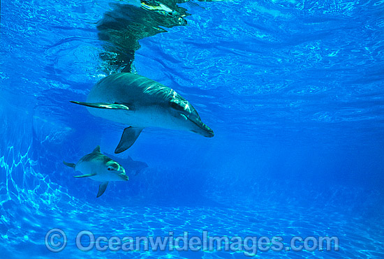 Bottlenose Dolphin mother and baby photo