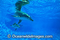 Bottlenose Dolphin mother and baby image
