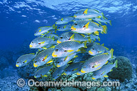 Diagonal-banded Sweetlips photo