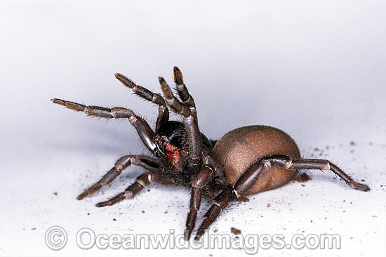 Sydney Funnel-web Spider (Atrax robustus) - female in defence posture. One of the most venomous and deadly spiders in the world. Sydney, New South Wales, Australia Photo - Gary Bell