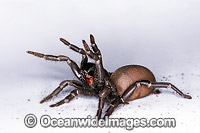 Sydney Funnel-web Spider Atrax robustus Photo - Gary Bell