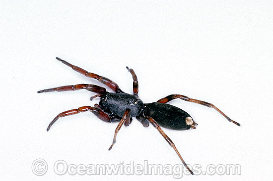 White-tailed Spider (Lampona cylindrata). Eastern Australia. A common perception is that white tail spider bites can be associated with long term skin infections, and in rarer cases progression to necrosis. No formal studies have found evidence for this. Photo - Gary Bell