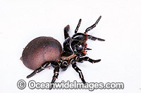 Eastern Mouse Spider photo