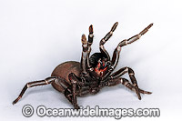 Eastern Mouse Spider Missulena bradleyi photo