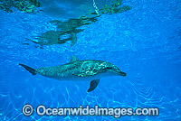 Indo-Pacific Bottlenose Dolphin Photo - Gary Bell