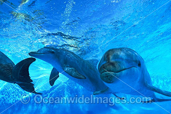 Indo-Pacific Bottlenose Dolphins (Tursiops aduncas). Coastal New South Wales, Australia